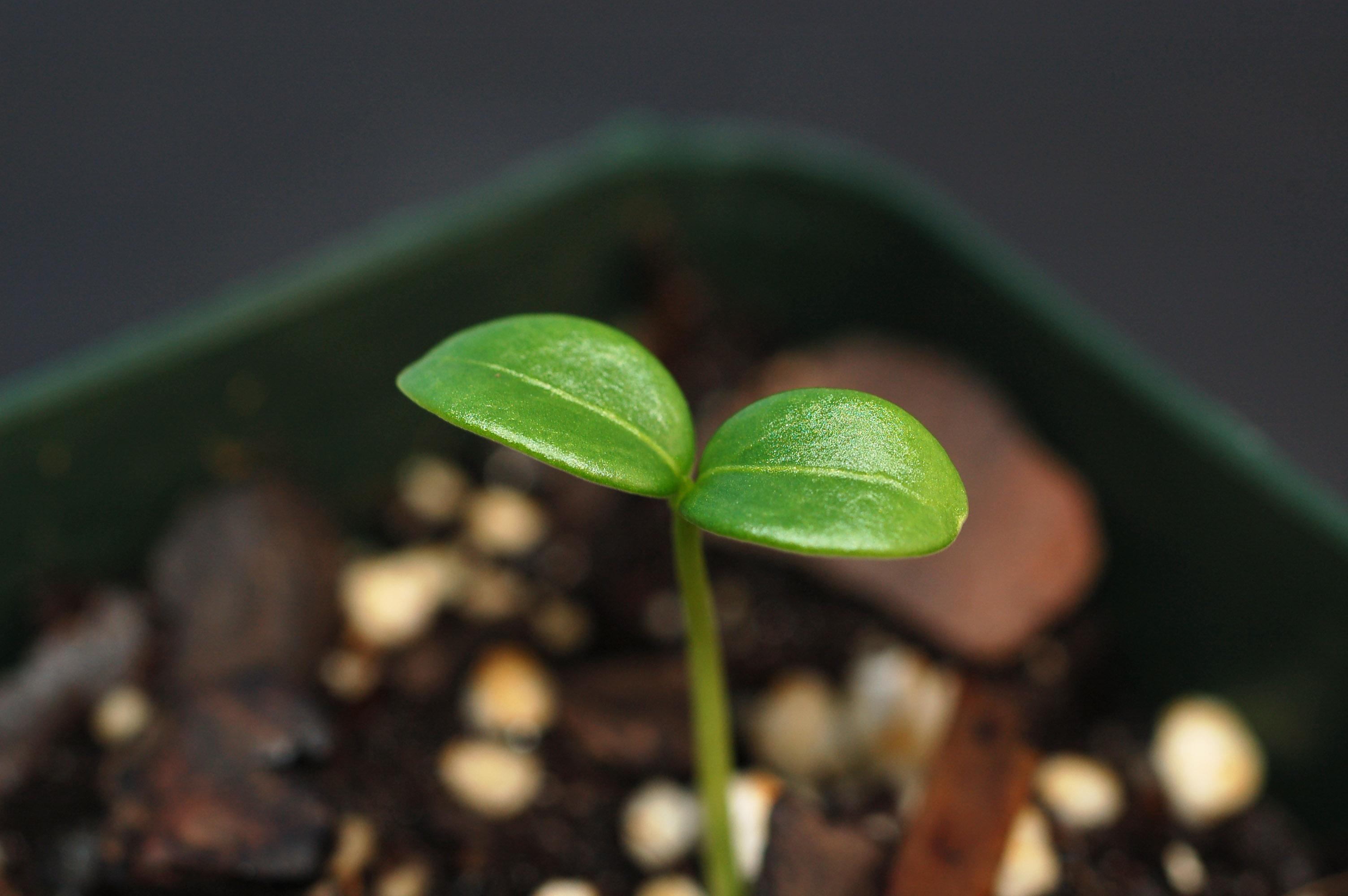 CELA Cela orbi seedling a