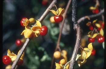 Celastrus orbiculatus Freckman Iltis