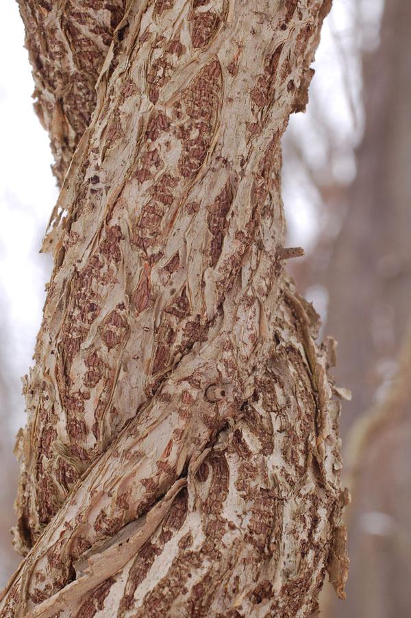 Celastrus orbiculatus bark3 web size