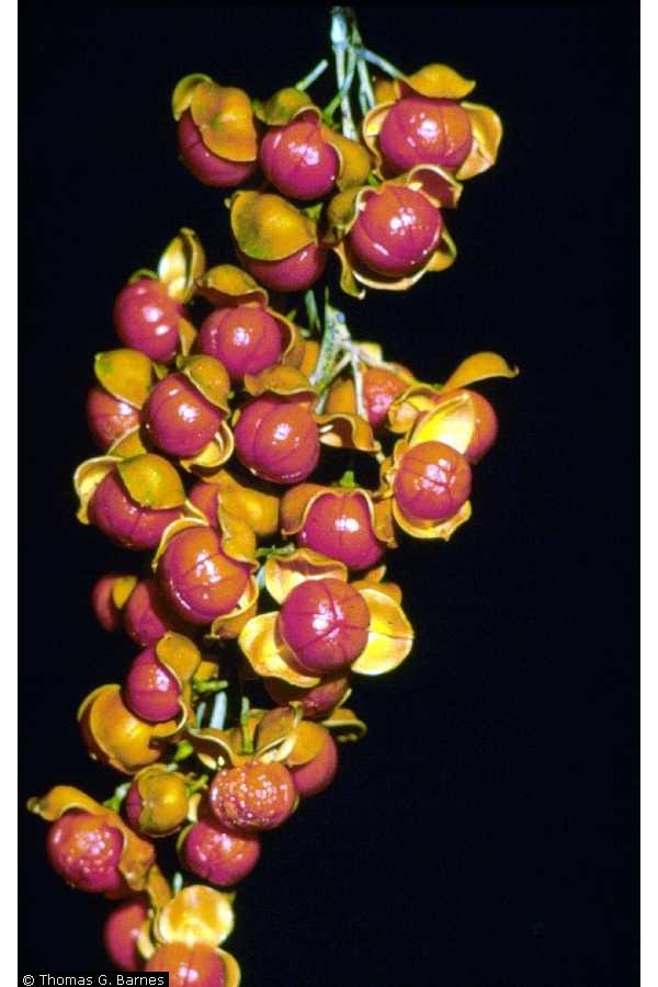 Celastrus scandens Fruit USDA