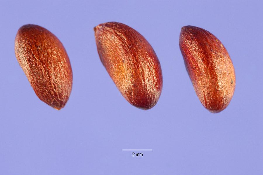Celastrus scandens SE1