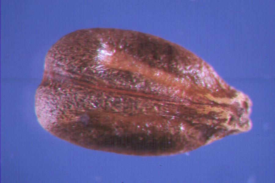 Vitis_labrusca seed nsl.fs.fed.us
