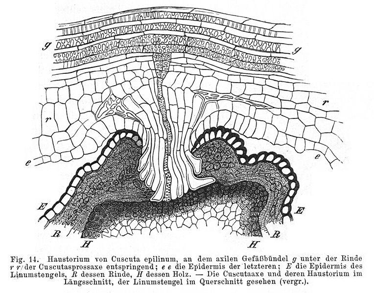 764px-Haustorium_Cuscuta_epilinum