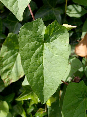 Calystegia_silvatica_leaf