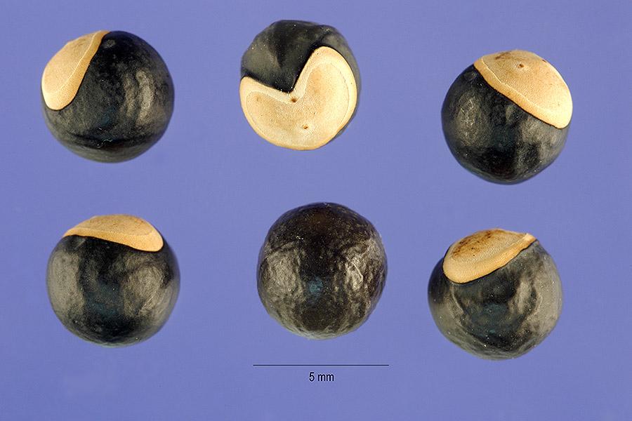 Cardiospermum seeds USDA