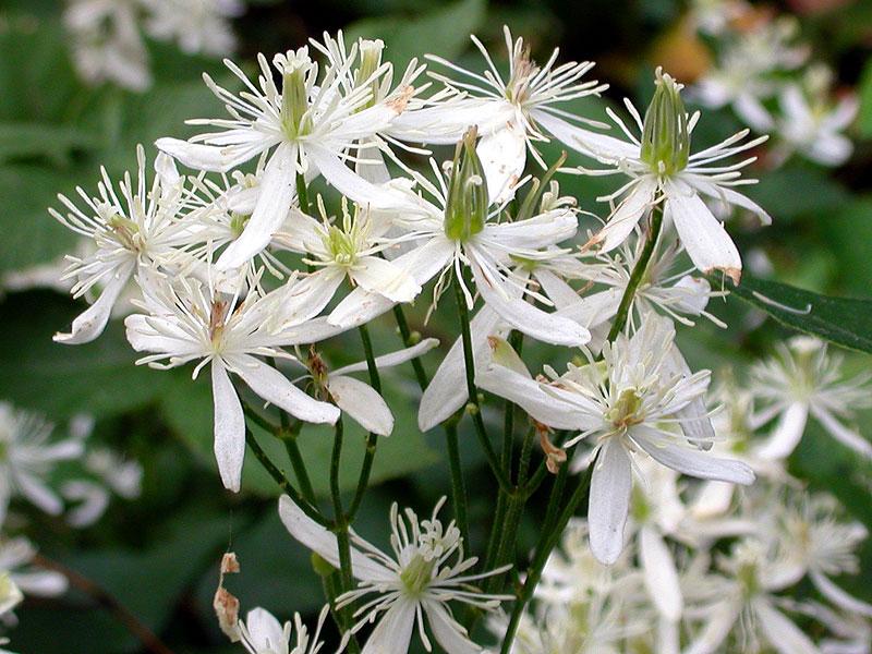 Clematis terniflora Smith DE