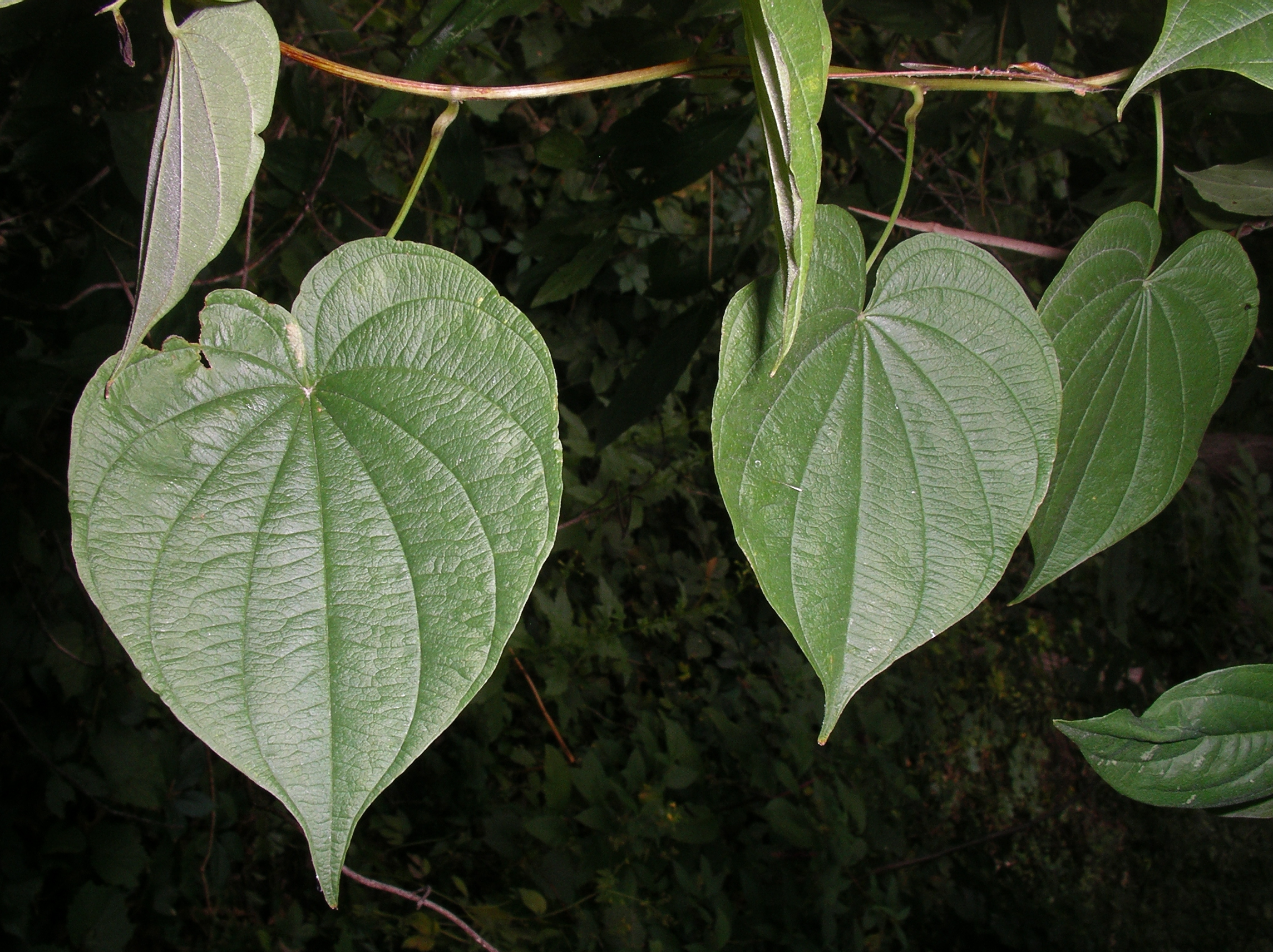 Dioscorea villosa 2LF IsLkRd