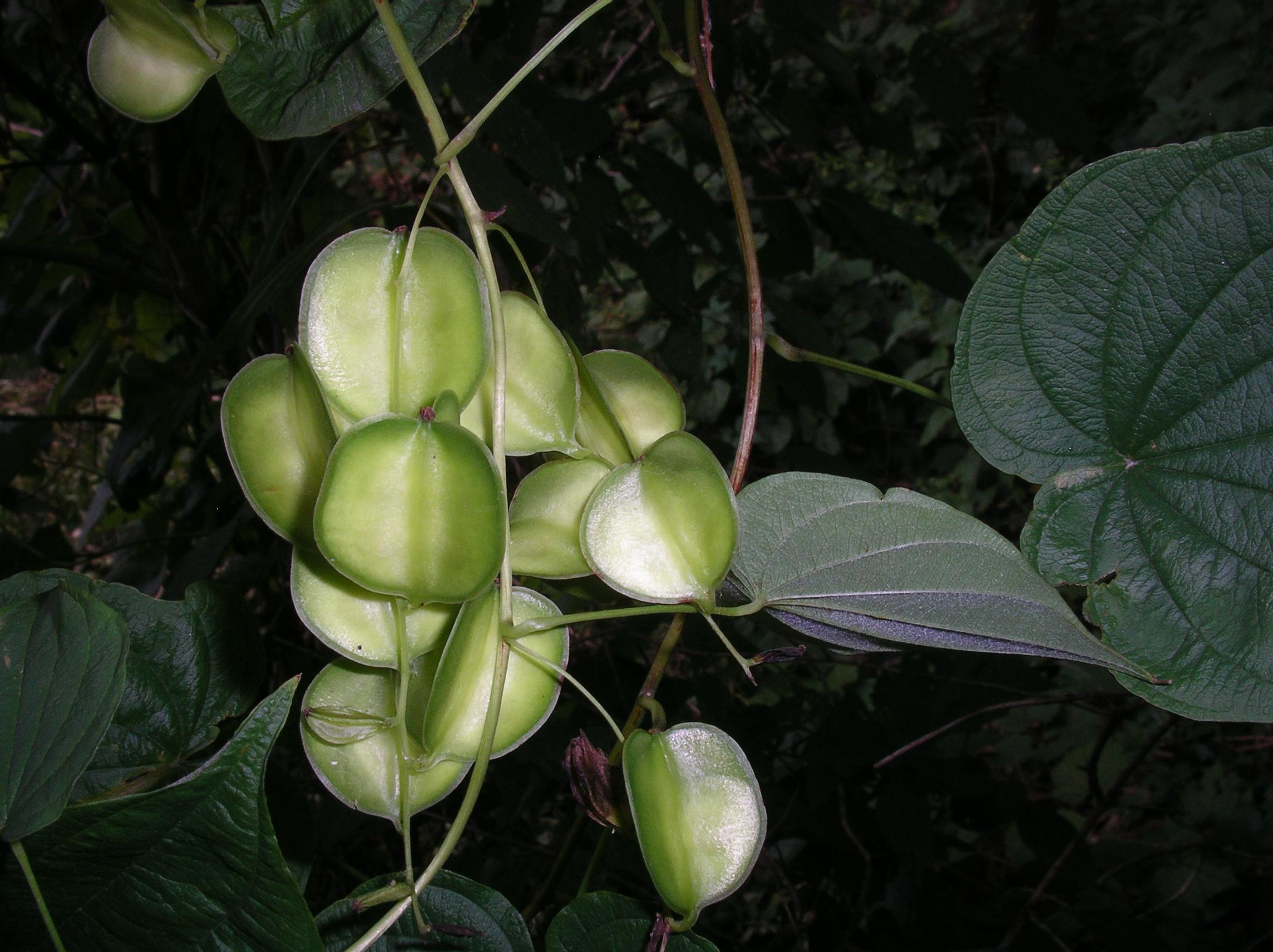 Dioscorea villosa FR IsLkRd