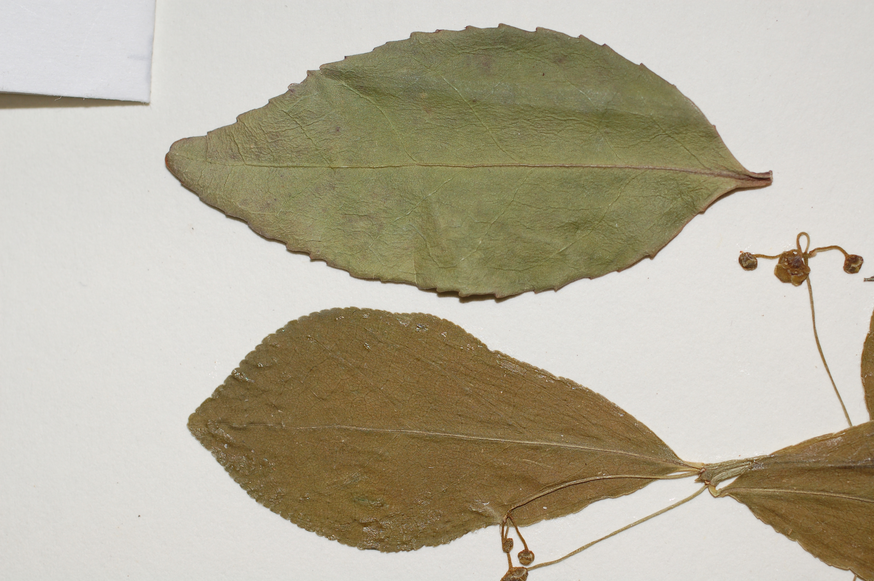 Euonymus obo(l) fort(r)3