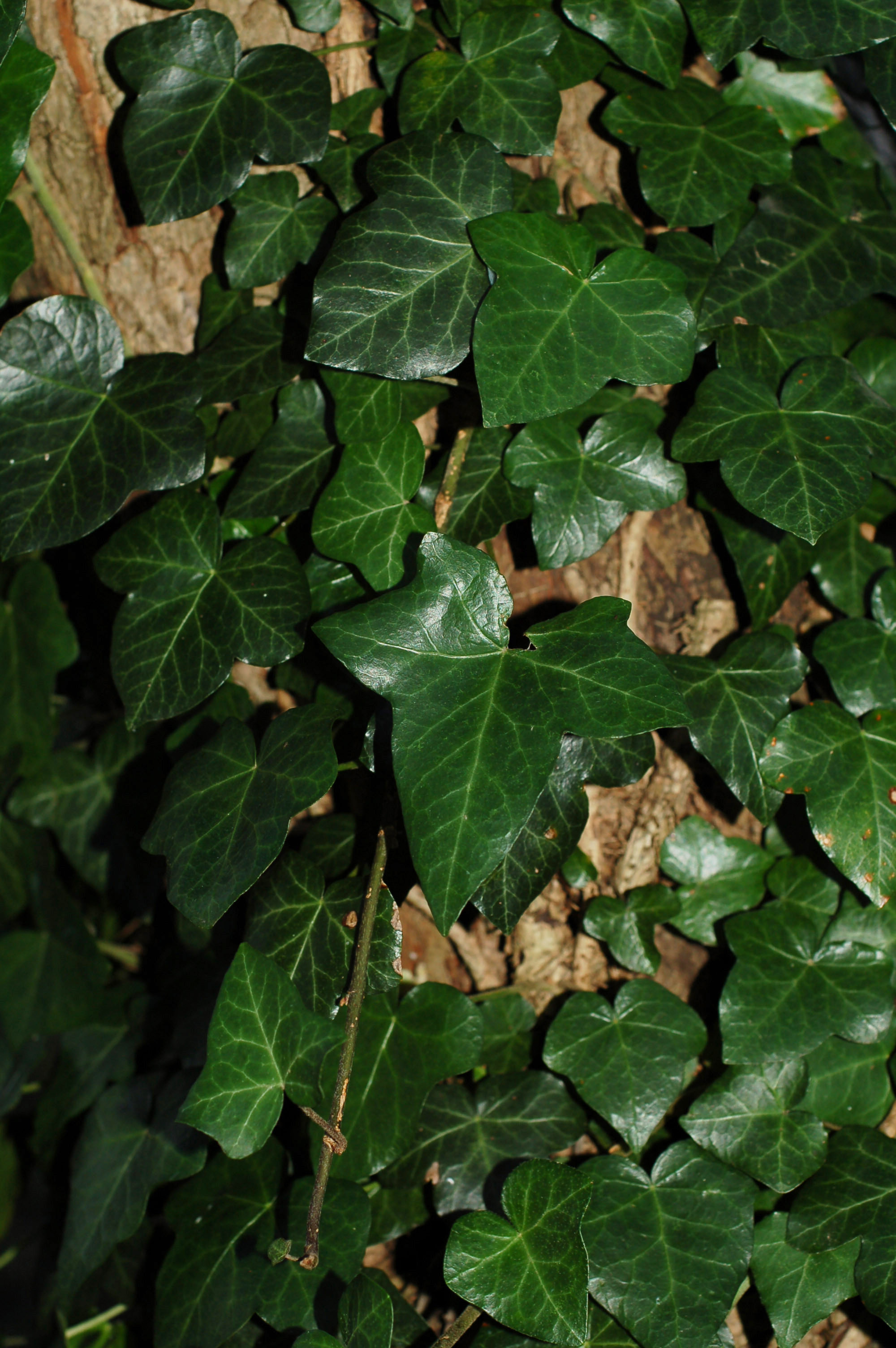 Hedera helix Arn Arb1 sm