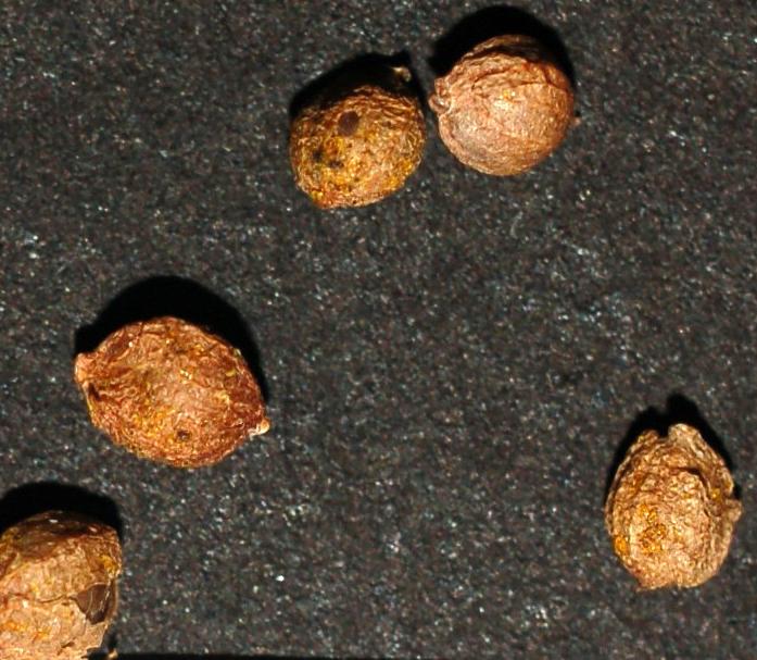 Humulupu seed1 cropped