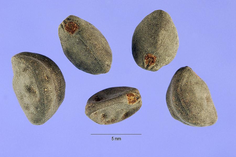 Ipomoea heder seeds USDA