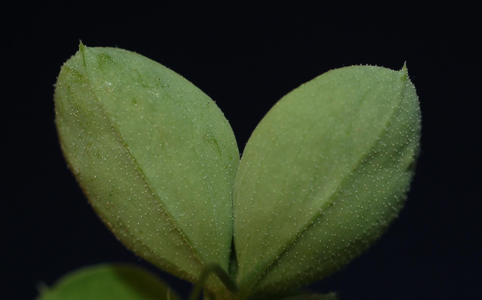 Lathylatif FABA seedling 7