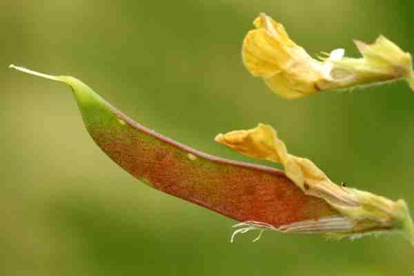 Lathyrus.pratensis3