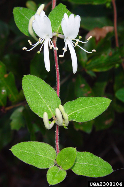 Lonicera japonica flowers