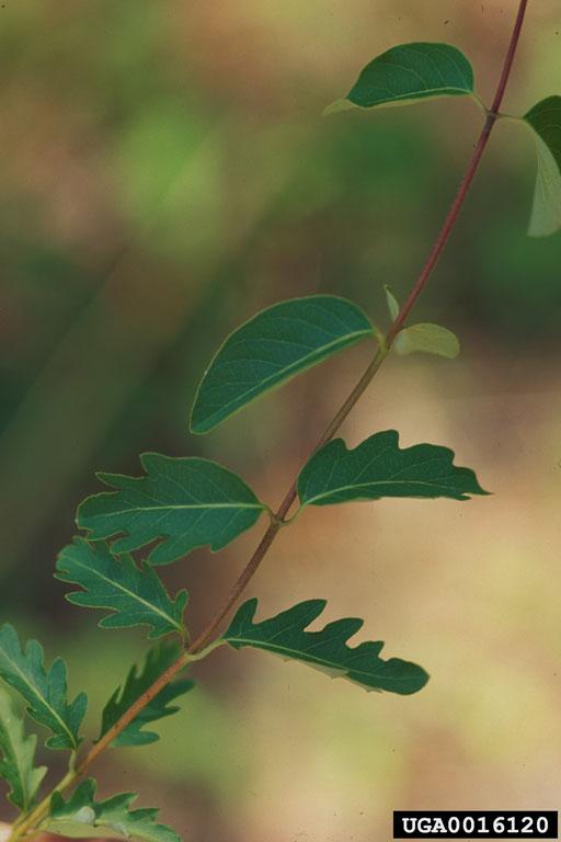 Lonicera japonica leaves