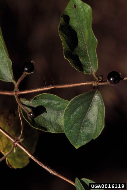 Lonicera japonica mature fruit