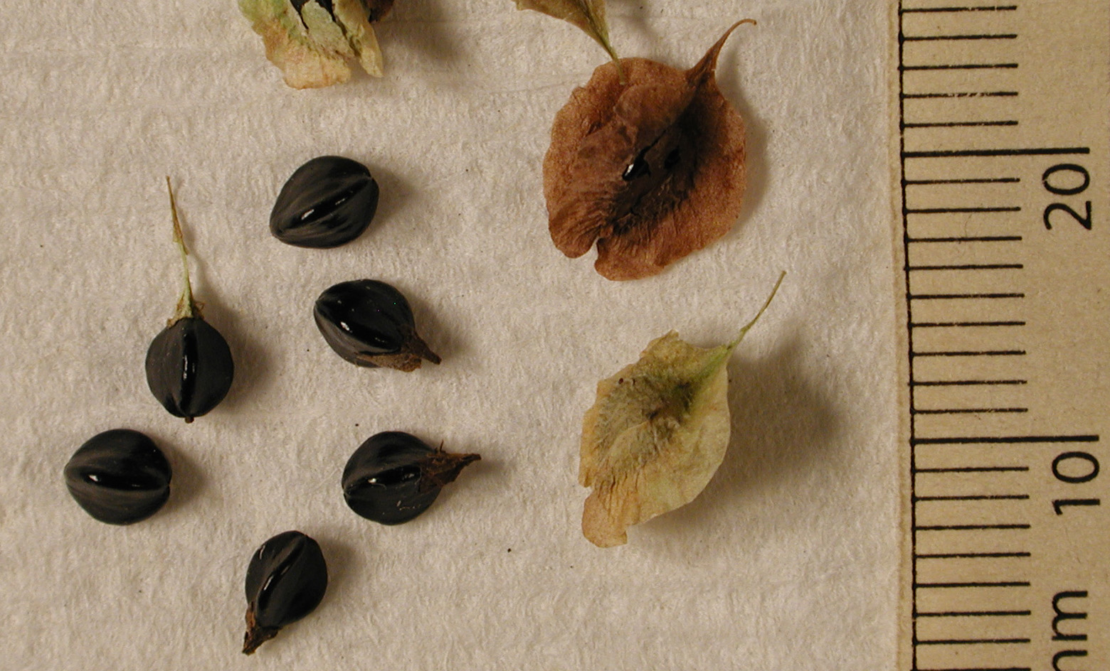 POLY Fall scan seeds