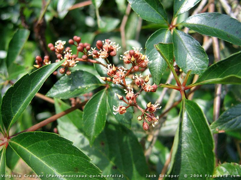 parthenocissus quinquefolia  climbers, Natural flower