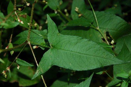 Polygonum-arifolium-~-halberd-leaf-tearthumb-1