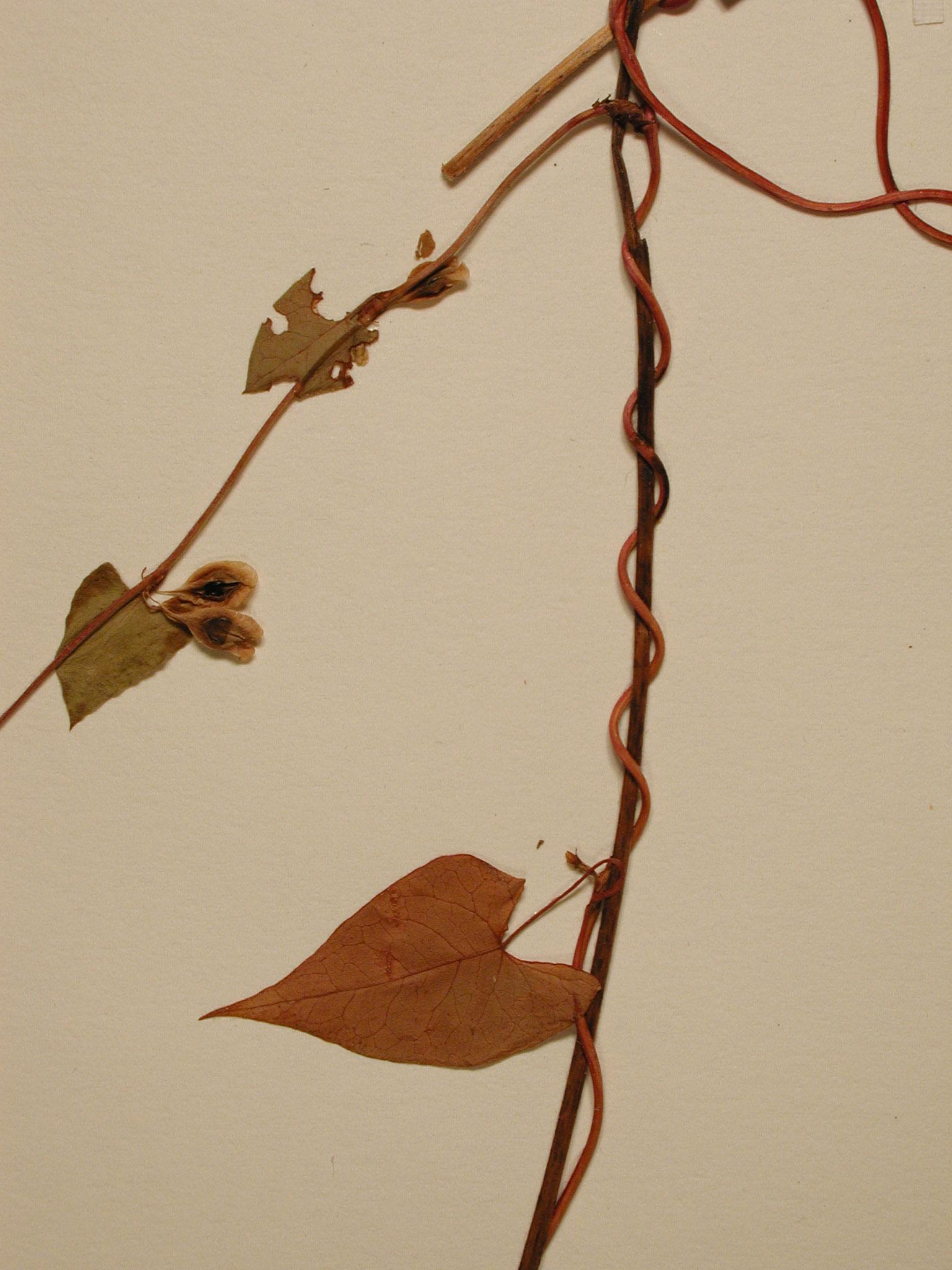 PolyscanPOLY leaf stem31
