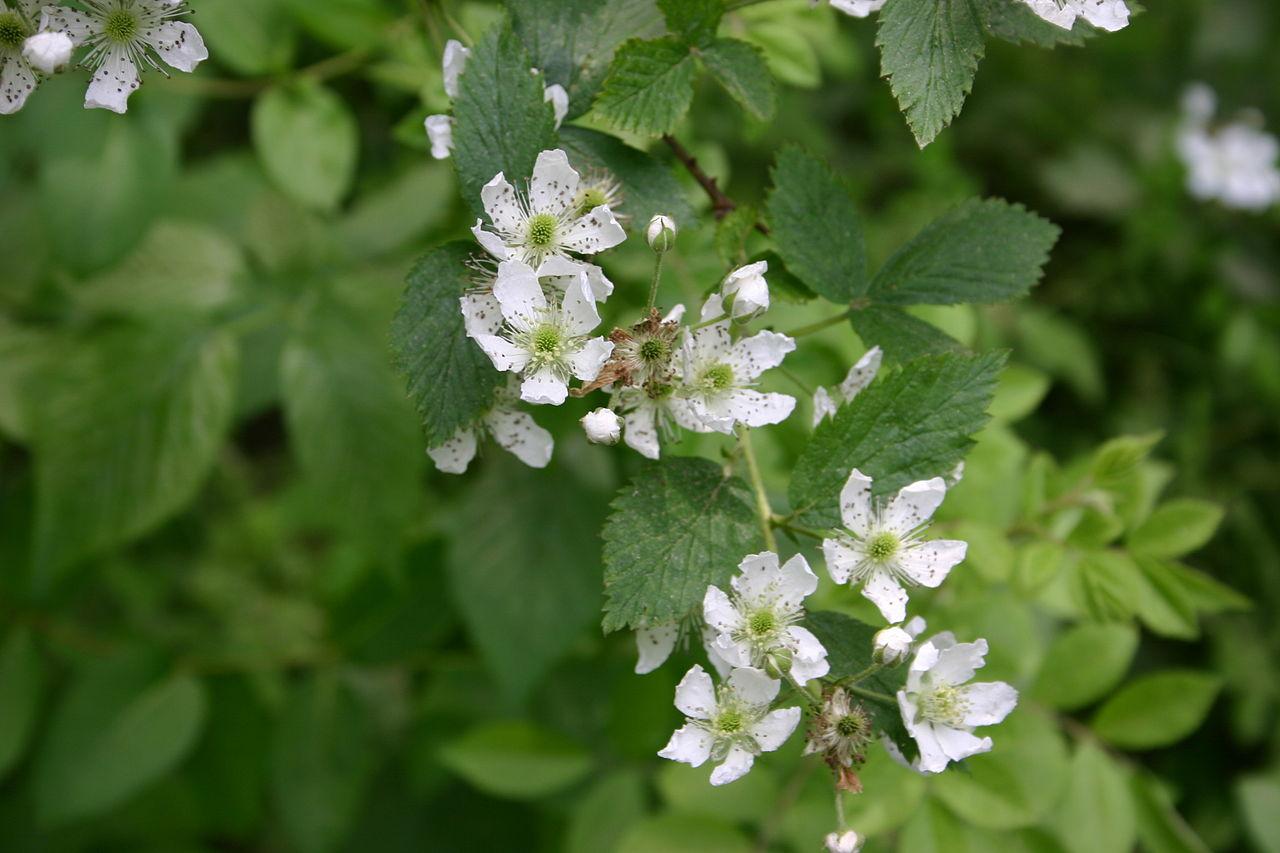 Rubupens flower