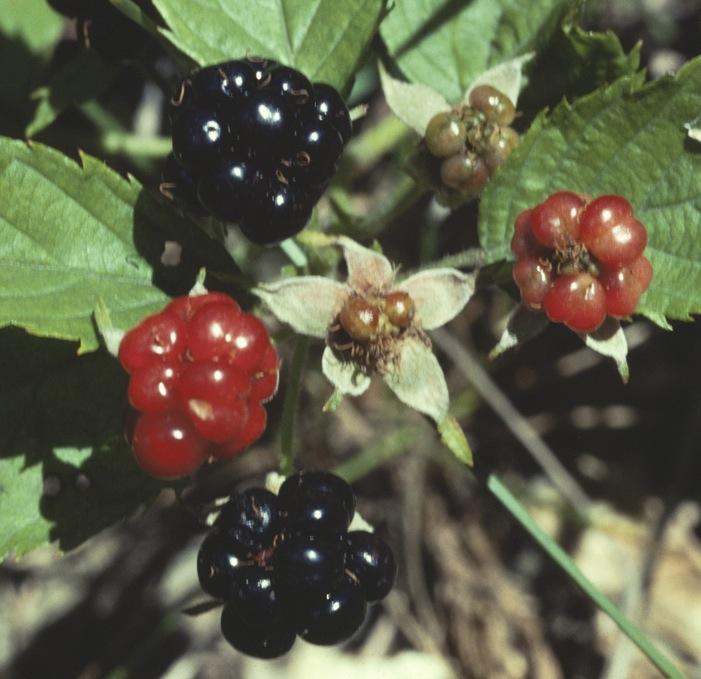 Rubus_hispidus_2b copy