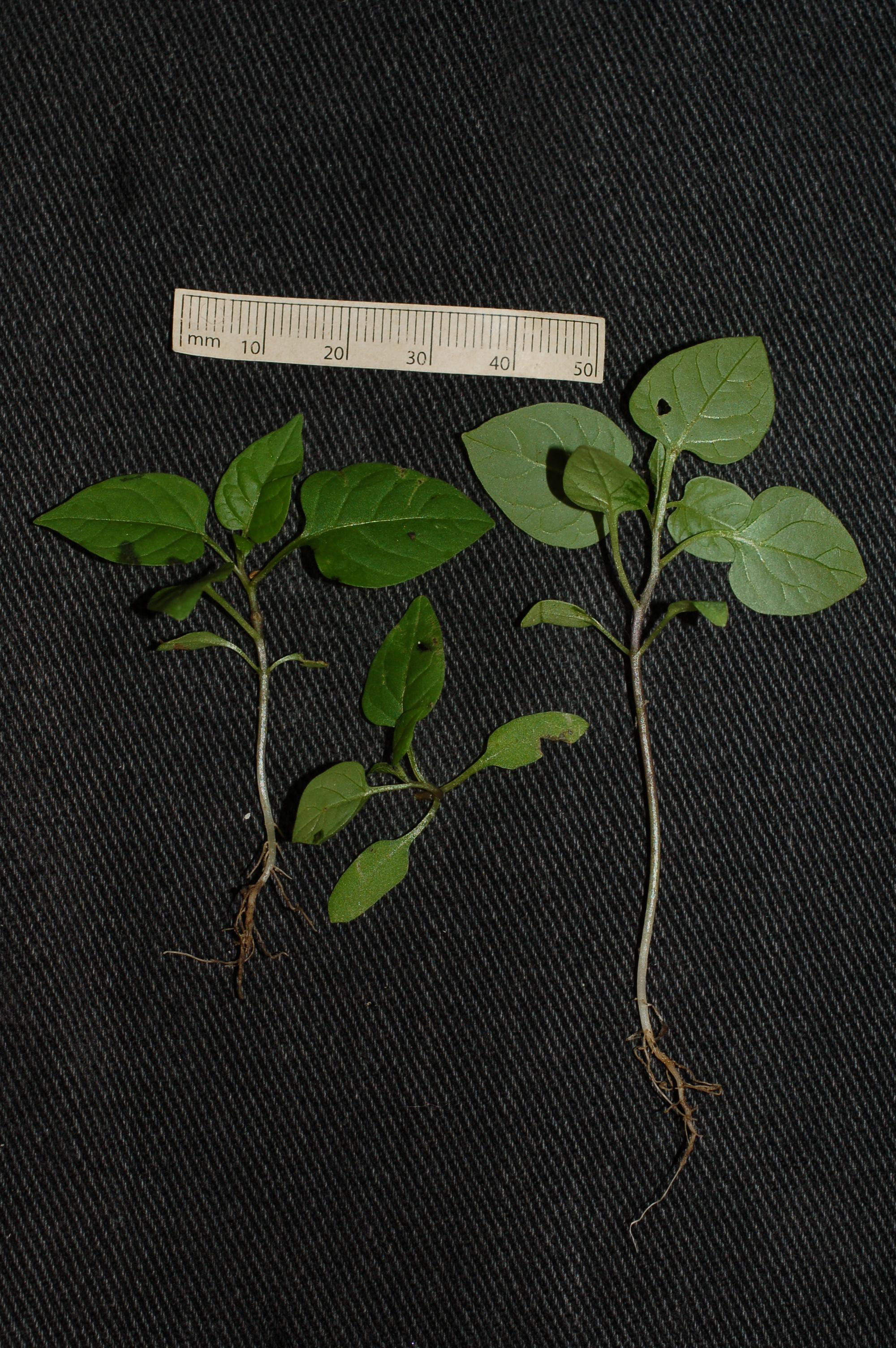 Solanum dulc seedling 1