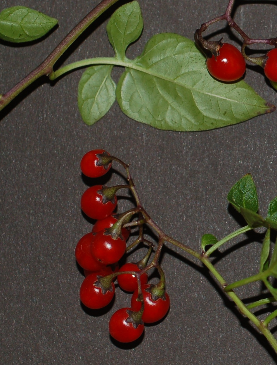 Solanum dulcamara AAlvs frt1 cropped