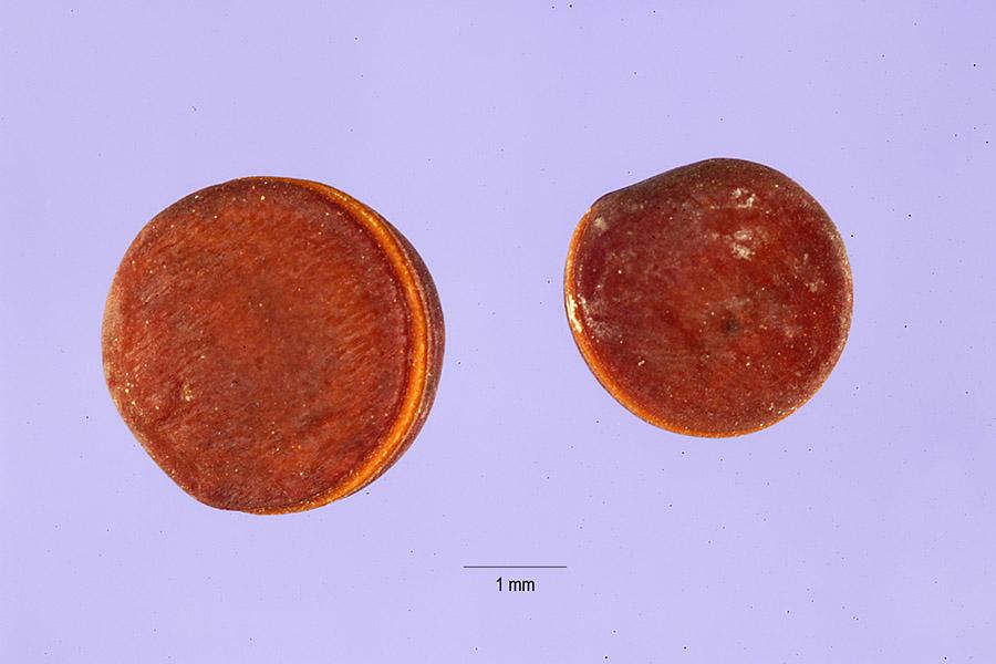 Vicia caroliniana from USDA