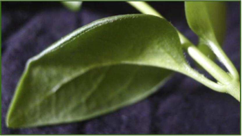 Vinca leaf Cristine Santanna