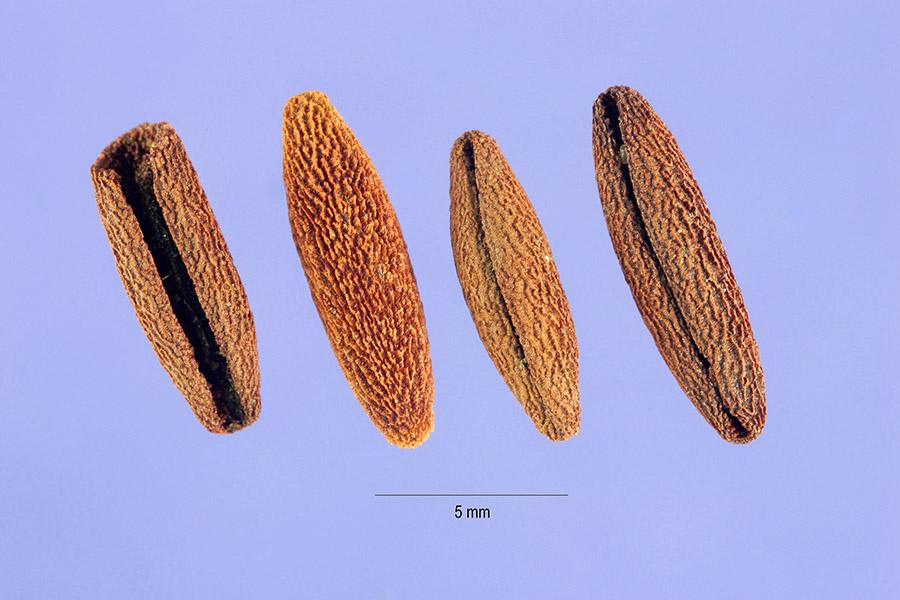 Vinca major seed USDA