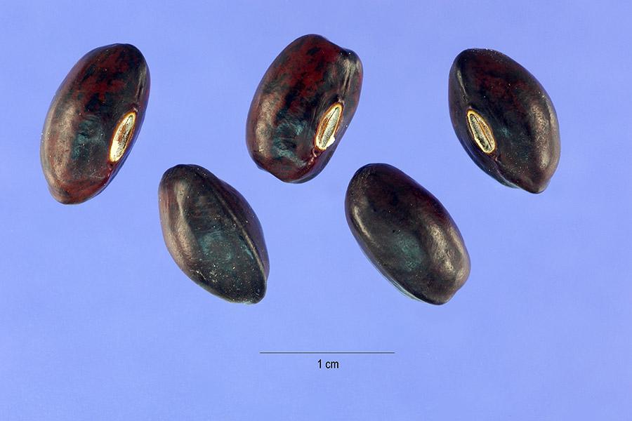 Wisteria frutescens USDA seed