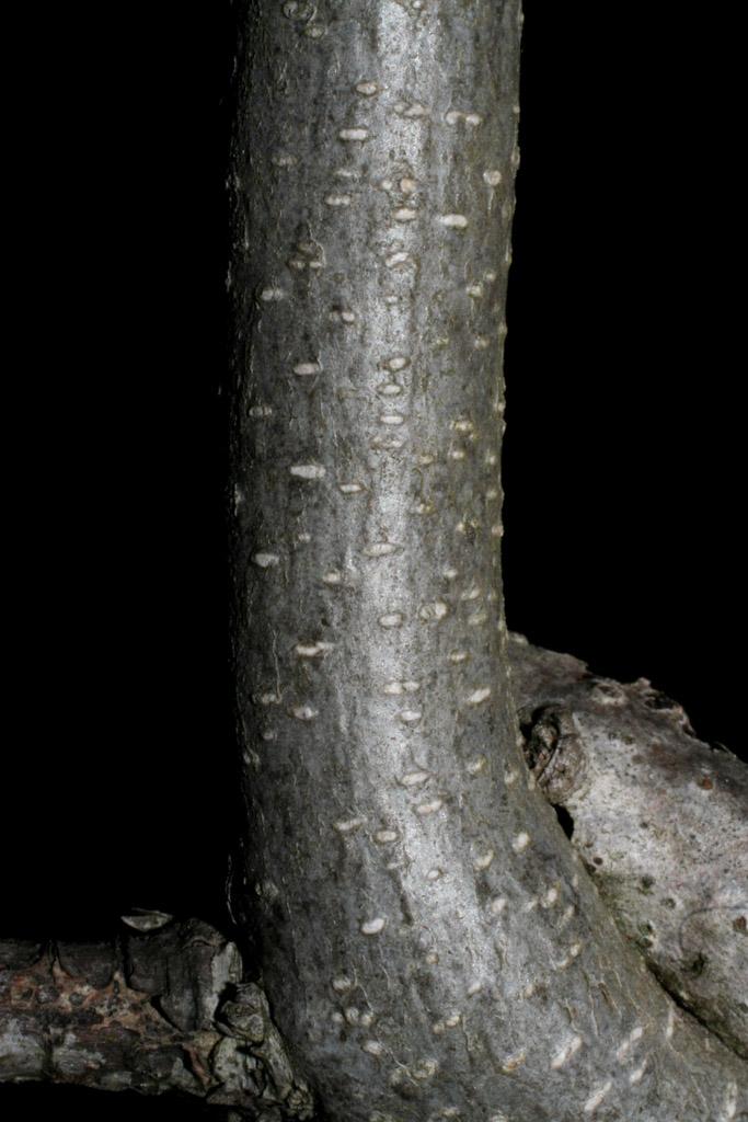 Wisteria frutescens bark Baskauf