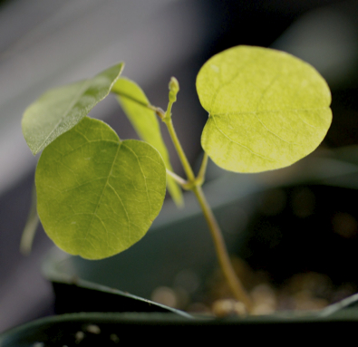 amphibrac_seedling_RJB