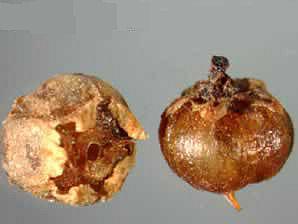 cuscinde seed