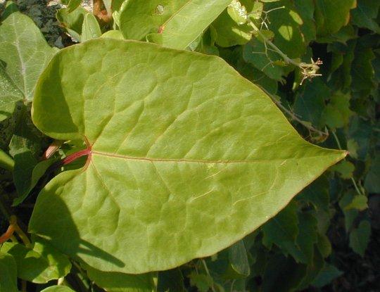 f. scandens_buckwheat2