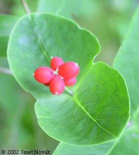 lonicera dioica fruit
