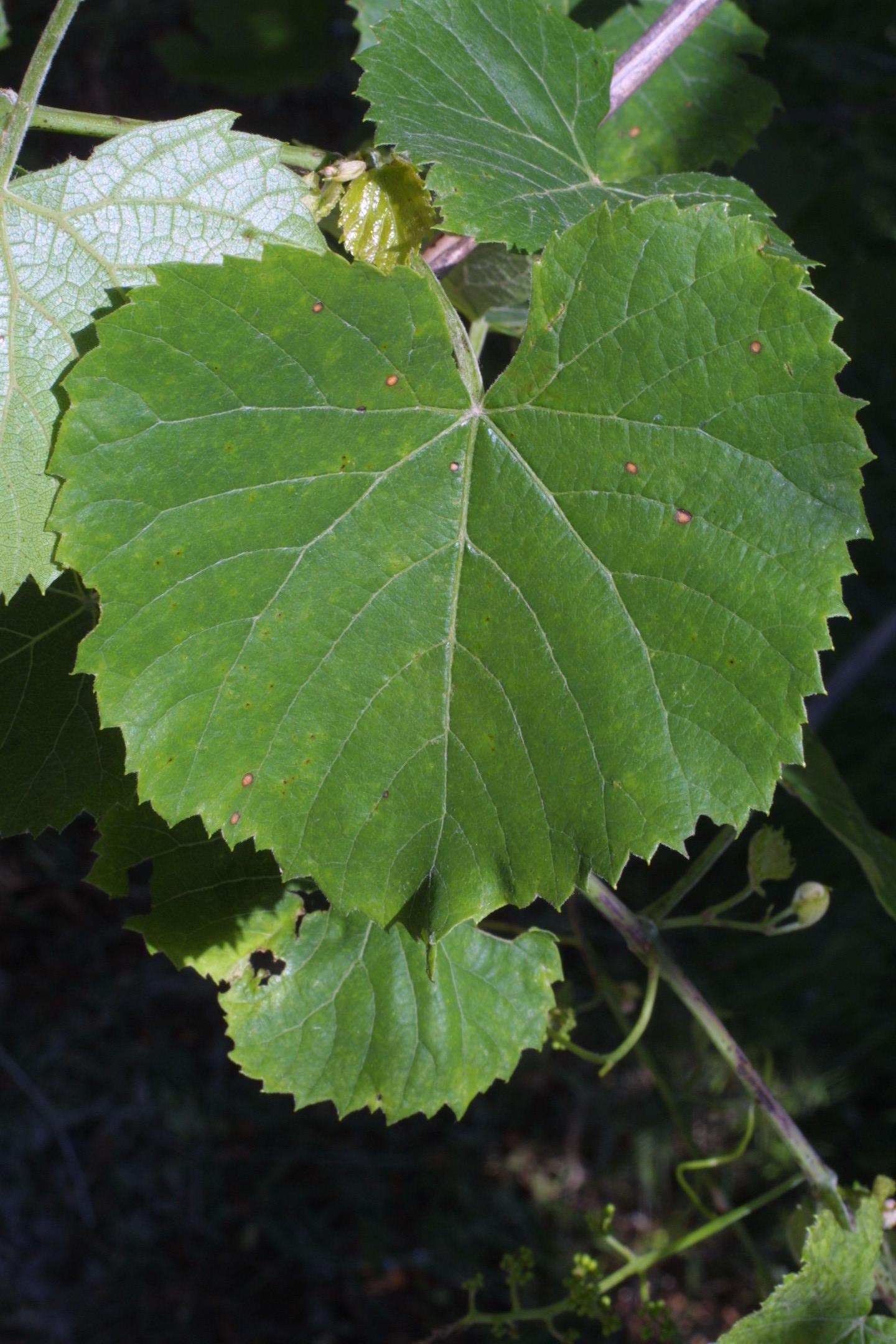 vvulp leaf vanderbilt