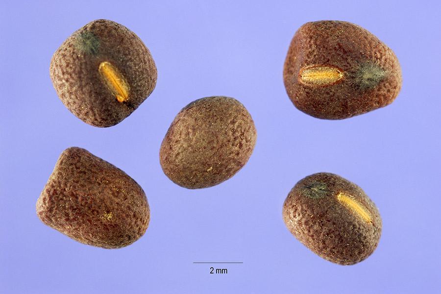 Lathyrus tuberosus USDA Hurst