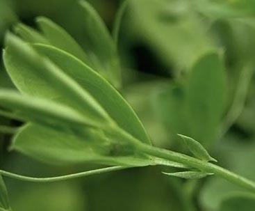 Leaf Lathyrus tub Jouko cropped 9460