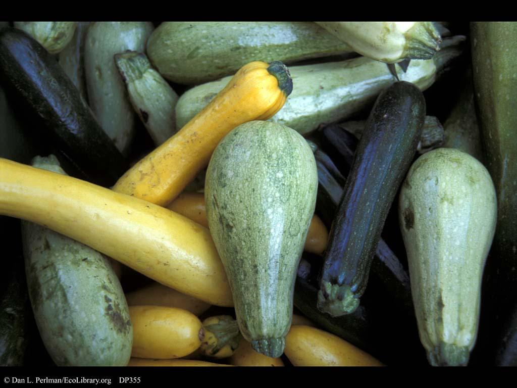 Squash_including_zucchini_Cucurbita_pepo_DP355