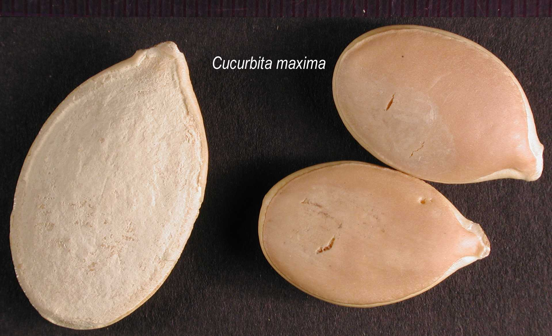 Cucurbita-maxima-seed 278