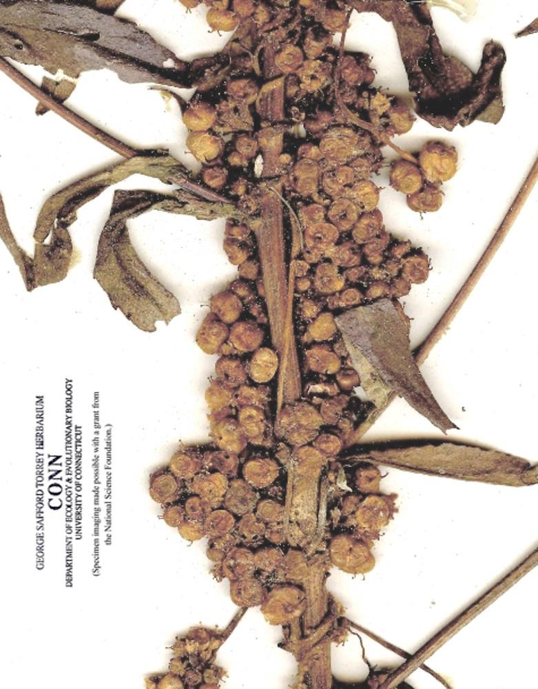 cuscuta-polygonorum-fr-connherbarium