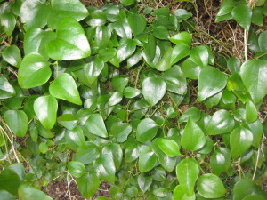 Smilax_rotundifolia_8 wikimedia